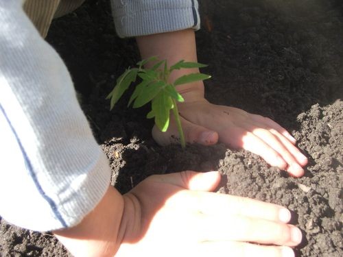 100510 016 - Planting a tomato plant