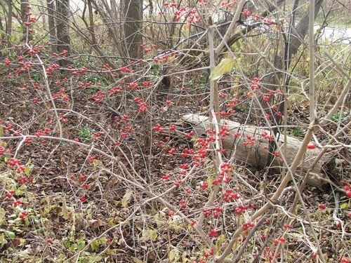 101129 065 - Red berries