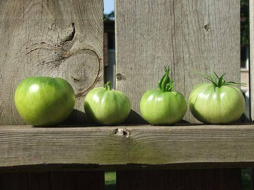 DSCF3516 - 2011 Tomato Harvest
