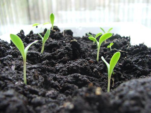 DSCF1857 - Calendula Sprouts