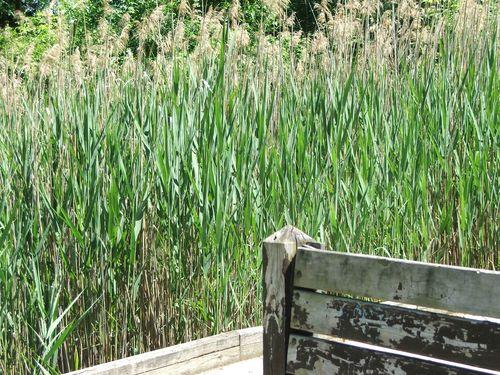 DSCF2643 - Pond grass