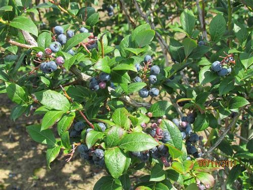 IMG_1045 Blueberries