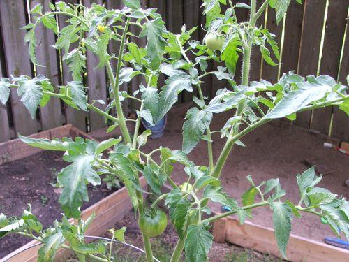 DSCF3180 - Two tiny tomatoes