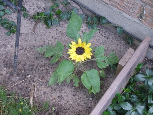 133 - sunflower