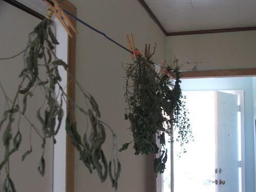 DSCF4253 - Herbs drying
